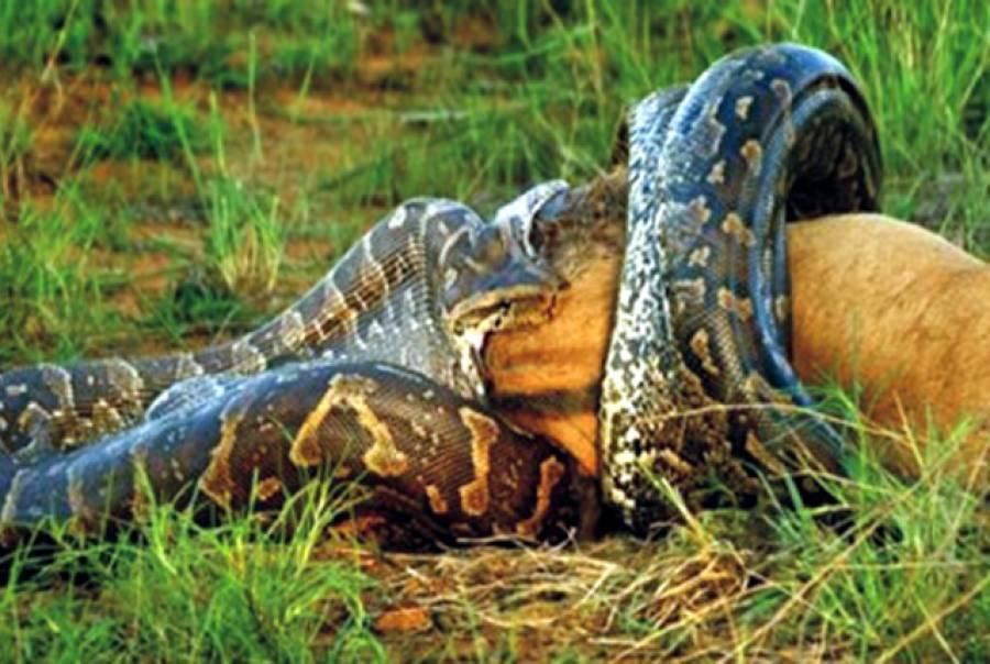 سانپ نے ہرن نگل لیا