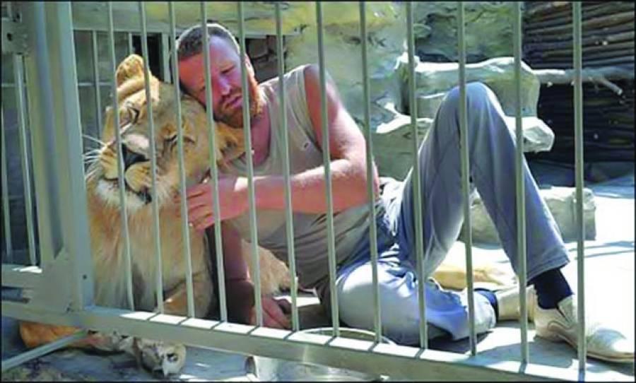 کیو:یوکرین میں ایک نجی چڑیا گھر کے بہادر مالک نے اپنے دو خون خوار شیروں کے ساتھ ان کے پنجرے میں ایک سال تک رہنے کا فیصلہ کیا ہے