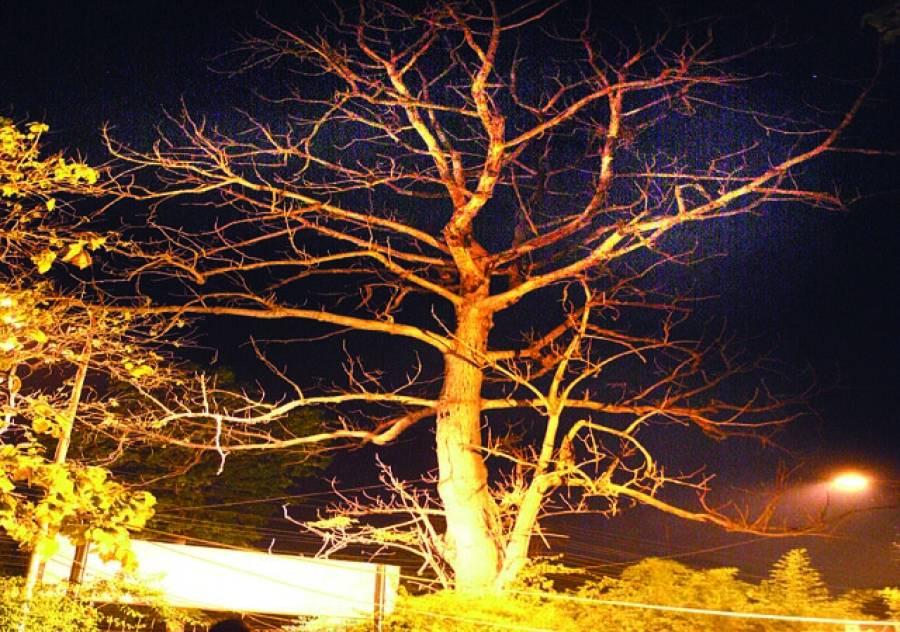 رات کے وقت مصنوعی روشنیوں میں درخت کی ٹہنیوں کا دلکش منظر(فوٹو ندیم احمد)