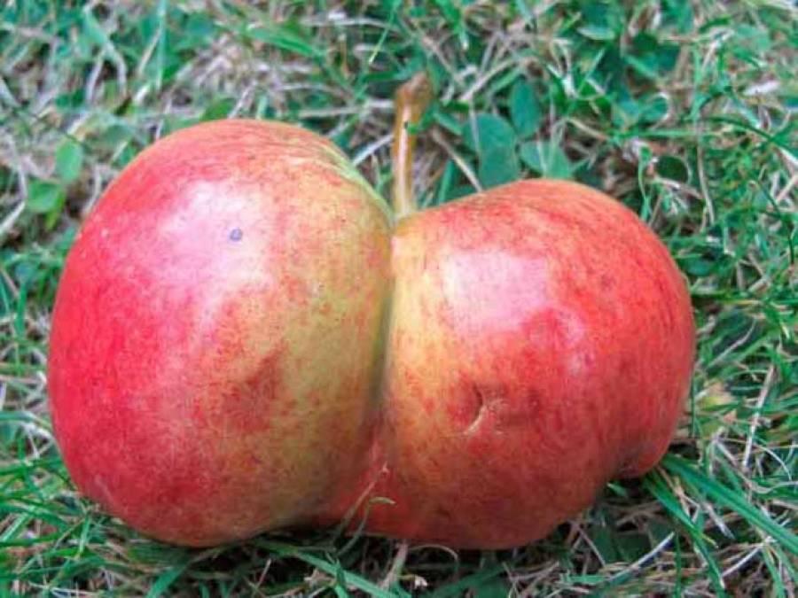 پاکستانی نژاد برطانوی شہری کے گھر درخت پرجڑواں سیبوں کی پیدائش
