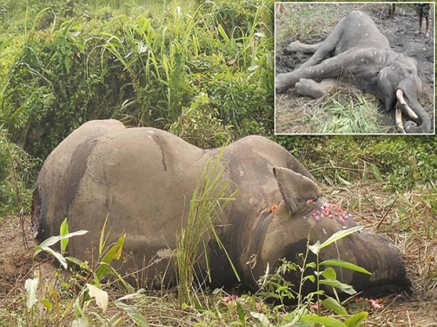ہاتھیوں میں طلاق کا رواج ہوتا تو ۔۔۔