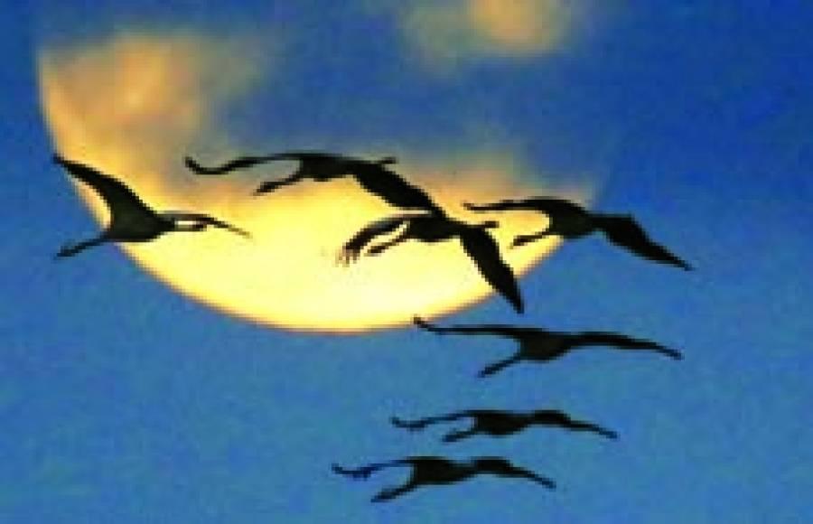 برلن: مرغابیاں فضا میں پرواز کر رہی ہیں