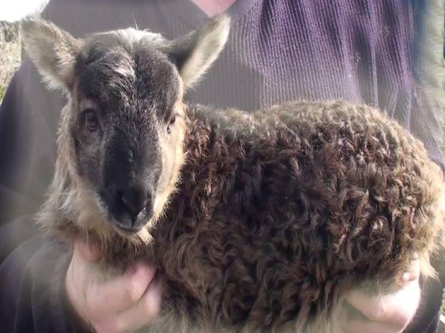 بکری اور دنبے کے ملاپ سے 'گیپ' پیدا ہوگیا