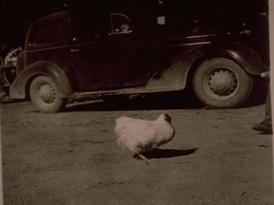 وہ مرغا جو سر کٹنے کے بعد بھی اٹھارہ ماہ تک زندہ رہا