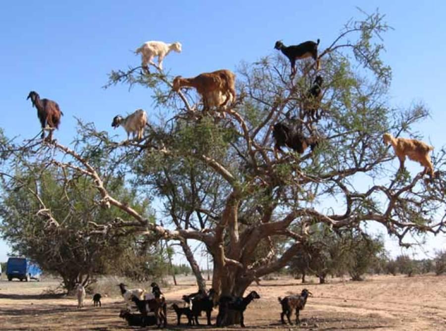 مراکش ،بکریوں نے درخت پر چڑھنے کی ٹریننگ حاصل کرلی