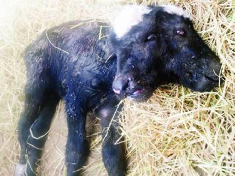 2 سر، 4آنکھوں والا بھینس کا بچہ پیدائش کے 36 گھنٹے بعد دم توڑ گیا