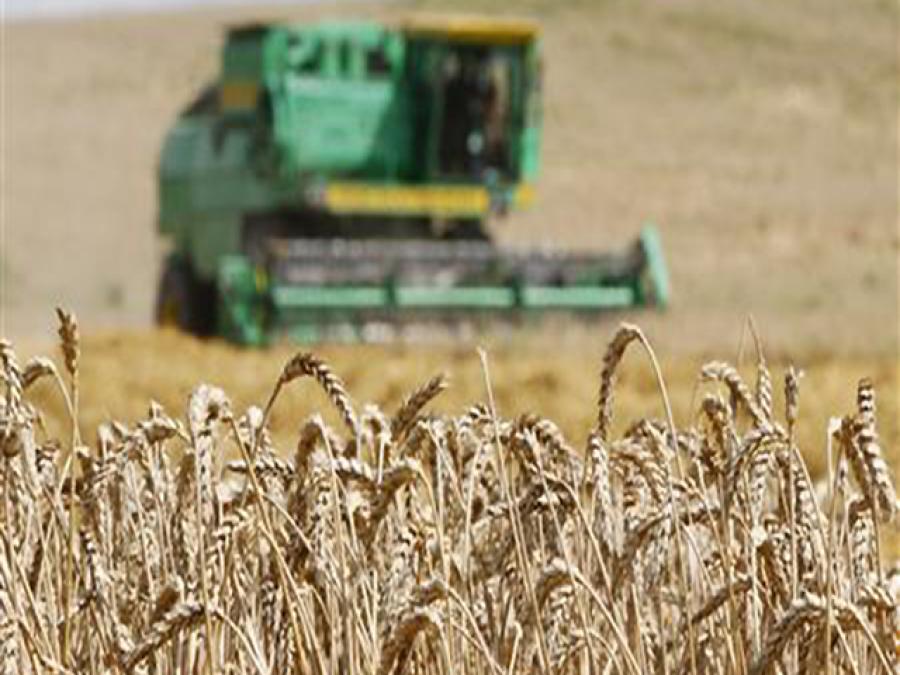 سرکاری خریداری شروع نہ ہوسکی ، زیریں سندھ میں گندم کے کاشتکار نجی سرمایہ کاروں کے رحم و کرم پر