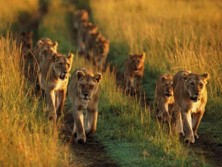 13آدم خور شیروں کو ایسی سزا کہ انہیں پیٹ بھرنے کیلئے انسانی نظام الاوقات کا پابند کردیا گیا
