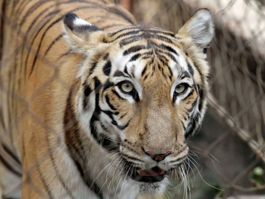 چڑیا گھرے میں شیر کے پنجرے سے خاتون کی لاش برآمد،کون تھی اور پنجرے میں کیسے پہنچ گئی؟انتہائی پریشان کن انکشاف