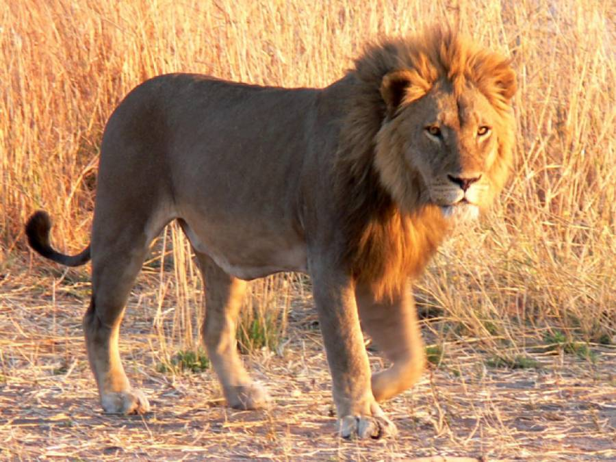 اگر آپ نہتے ہوں اور کوئی شیر، چیتا یا ہاتھی حملہ کردے تو کس طرح بچاجاسکتا ہے؟ جانئے بغیر کسی ہتھیار کے خطرناک ترین جنگلی جانوروں سے مقابلے کا آسان ترین طریقہ