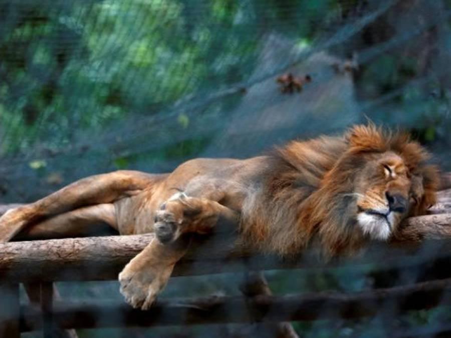 وینز ویلا میں خوراک کا بحران شیر،چیتے آم،کدو کھانے پر مجبور