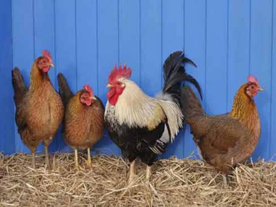 پنجاب کے سرکاری سکولوں کی طالبات پڑھائی کیساتھ اب مرغیاں بھی پالیں گی