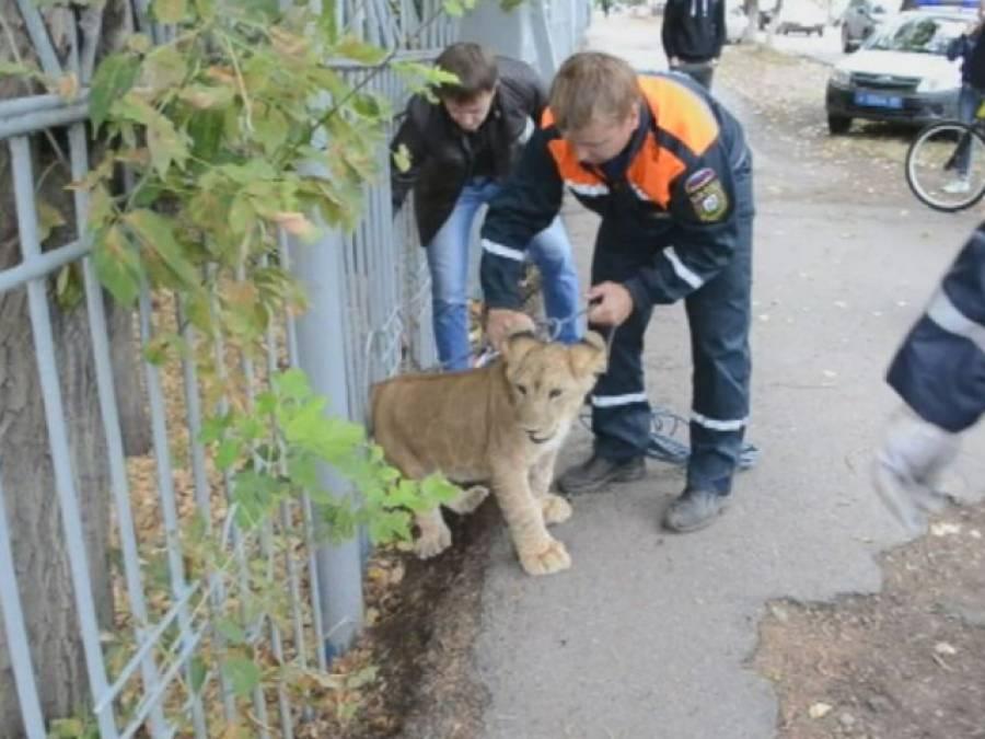 گلیوں میں گھومتا شیر کا بچہ 'گرفتار'، جنگل سے شہر میں کیسے آگیا؟ ایسی حقیقت کہ جان کر پولیس والے بھی حیران پریشان رہ گئے