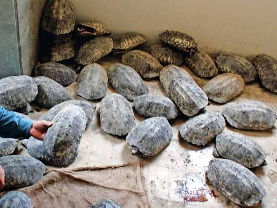 محکمہ جنگلی حیات سندھ کی ڈیفنس میں کارروائی، 700 زندہ کچھوے اور گوشت برآمد، 11 افراد گرفتار