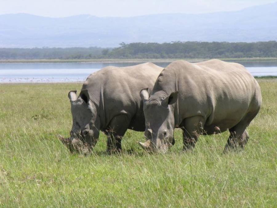 جنوبی افریقہ میں سینگوں کی خاطر گینڈوں کا تیزی سے قتل عام کیا جانے لگا