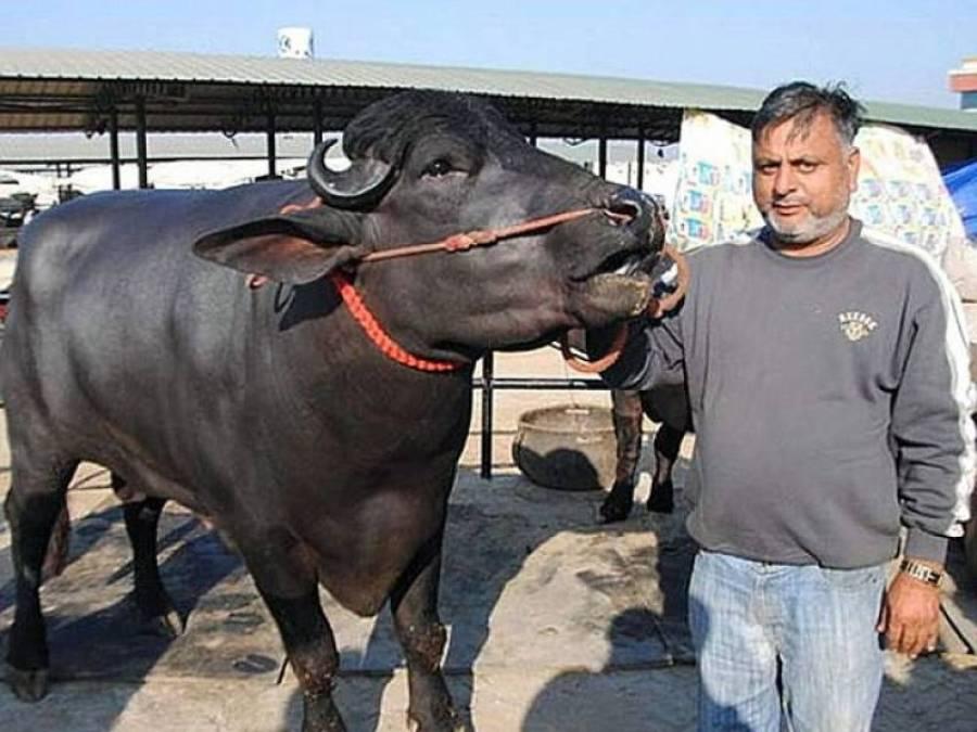 وہ کسان جس نے اپنے بھینسے کی فروخت کے لئے 19 کروڑ روپے کی پیشکش مسترد کردی کیونکہ۔۔۔