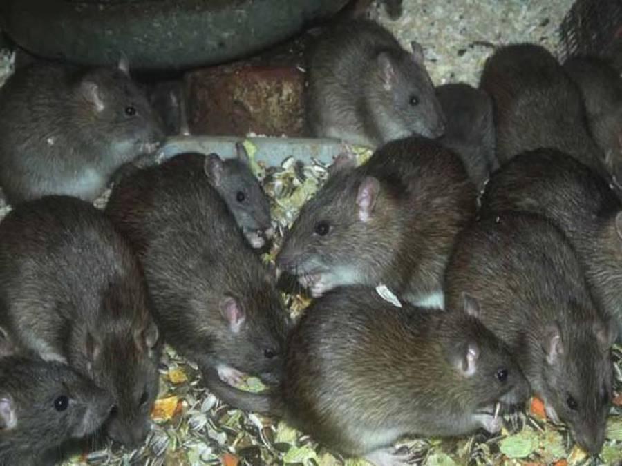 فرانس میں چوہوں کی بھرمار،خاتمے کیلئے 16 لاکھ ڈالر کا منصوبہ تیار