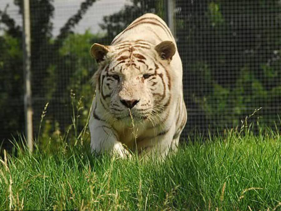 برطانوی چڑیا گھر میں شیر کے حملے سے خاتون ملازمہ ہلاک ہو گئی