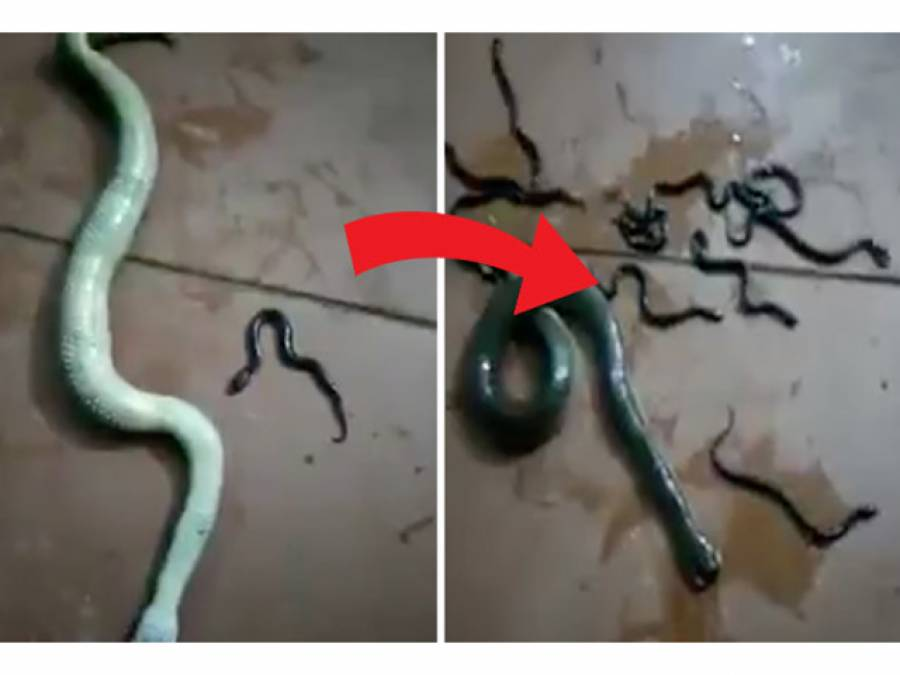 آدمی نے حاملہ سانپ کا سر کچل دیا، لیکن پھر اس کے بعد سانپ نے کیا کیا؟ ایسا منظر جو آپ نے زندگی میں کبھی نہ دیکھا ہوگا