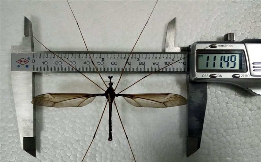 دنیا کا سب سے بڑا مچھر سامنے آ گیا، یہ کتنا بڑا ہے اور اس کے پر کتنے لمبے ہیں؟ دیکھ کر ہی آپ کے رونگٹے کھڑے ہو جائیں گے