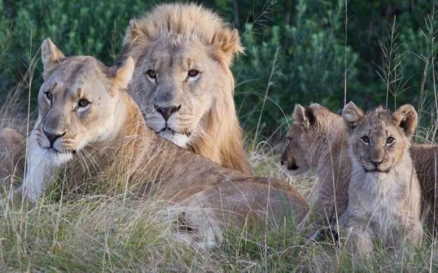 جنوبی افریقہ ،گینڈے کے شکاری، خود شیر کا شکار بن گئے