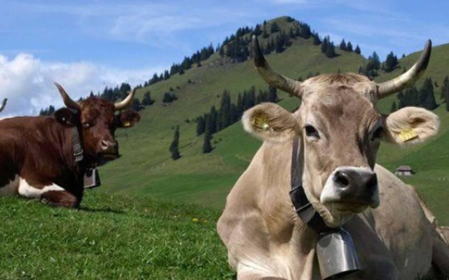 سوئٹزرلینڈ میں گائے کے سینگ ہونے چاہئیں یا نہیں؟ عوام نے اپنا فیصلہ سنادیا
