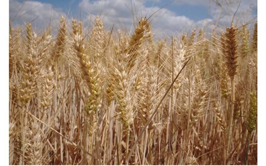پنجاب میں حالیہ بارشوں سے گندم کی کتنی فصل تباہ ہوگئی ؟ سب سے خطرناک خبرآ گئی