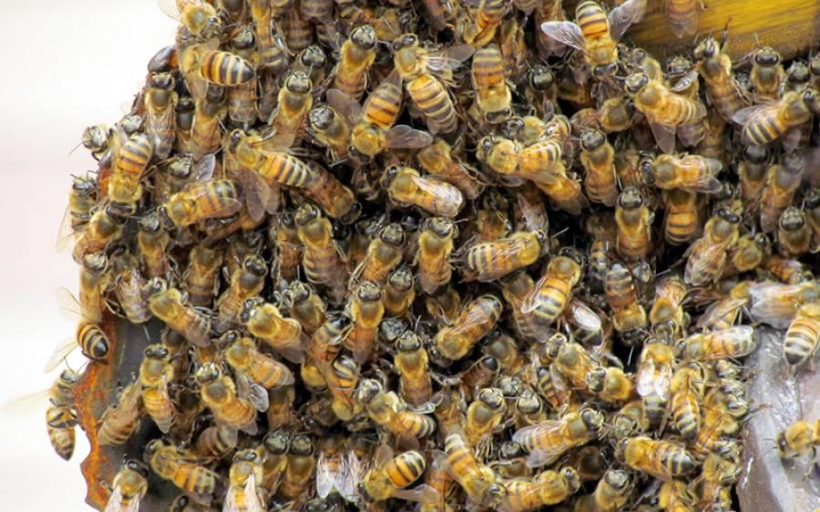میوزک فیسٹول میں شرمناک حرکتیں ،ہزاروں شہد کی مکھیوں نے دھاوا بول دیا اور سب بند کرا دیا