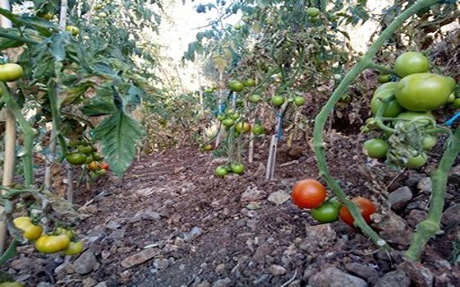 چوروں نے سونا چاندی چھوڑ کر ٹماٹر چرانا شروع کردیے، کاشتکاروں نے پہرے پر اسلحہ بردار افراد تعینات کردیے