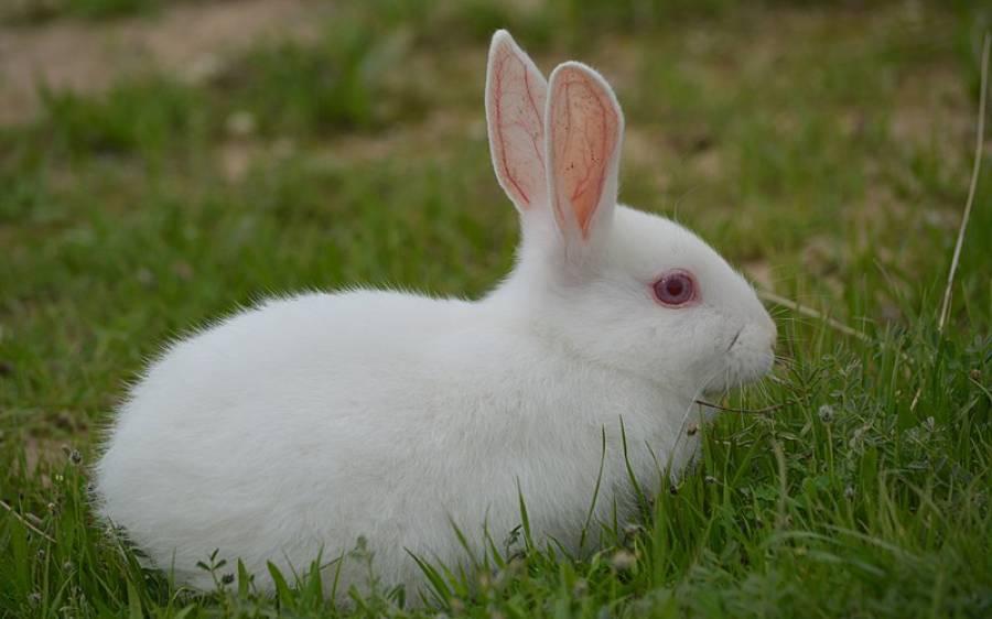 خرگوش کھانے والا شخص سینکڑوں سال پرانی انتہائی خطرناک بیماری میں مبتلا ہوگیا