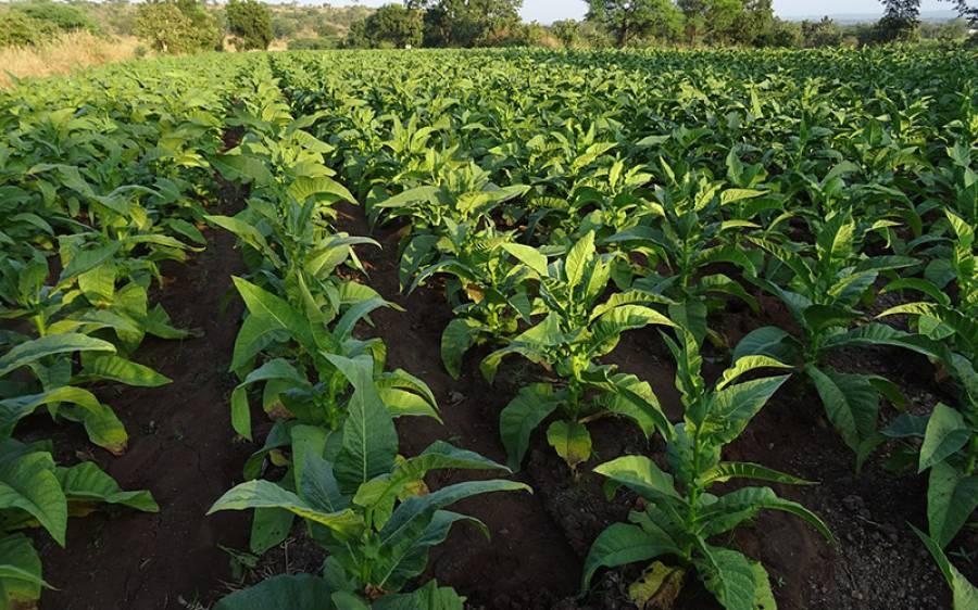 سگریٹ بنانے والی کمپنی برٹش امریکن ٹوبیکو نے تمباکو کے پتوں سے کورونا وائرس ویکسین بنانے میں کامیابی کا اعلان کردیا، ہر کوئی حیران رہ گیا