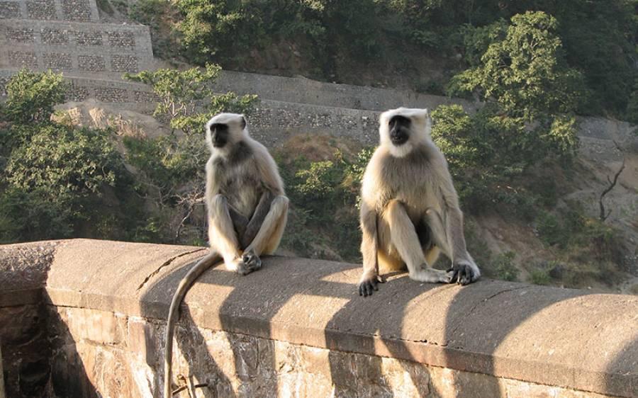 10 بندروں کی پر اسرار موت نے خوف و ہراس پھیلادیا، علاقے والوں کے کورونا ٹیسٹ شروع