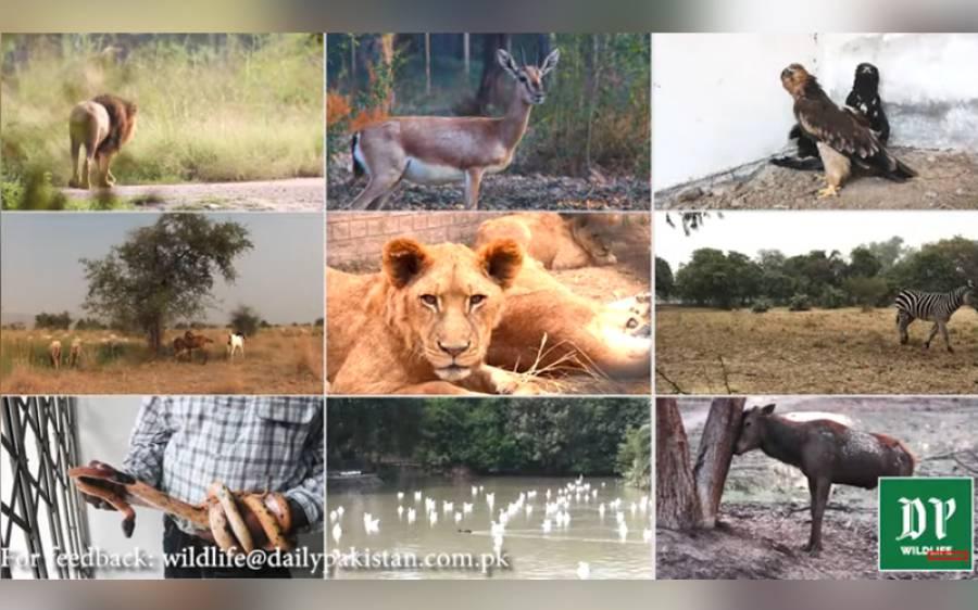 پاکستان میں جانوروں کی زندگیوں پر بےحد دلچسپ ویڈیوز، کل سے دیکھئے ڈیلی پاکستان پر