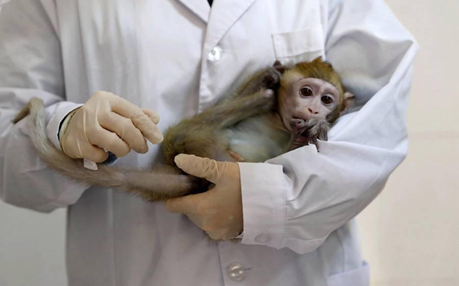 سائنسدانوں نے کورونا وائرس ویکسین کا بندروں پر کامیاب تجربہ کرلیا، بڑی خوشخبری آگئی