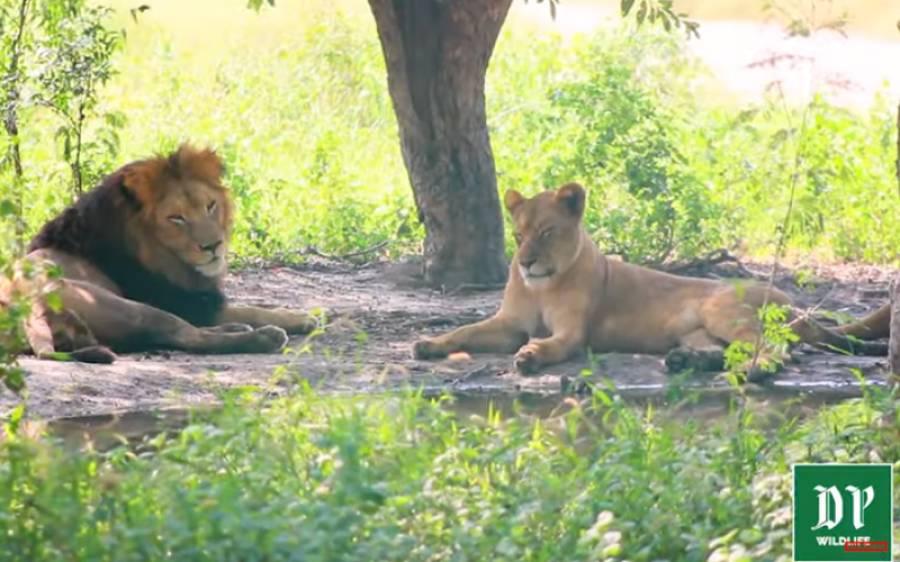 شکار شیرنی کرتی ہے تو شیر کیا کرتا ہے؟ دیکھئے شیروں کی زندگی پر خصوصی سیریز کا دوسرا حصہ
