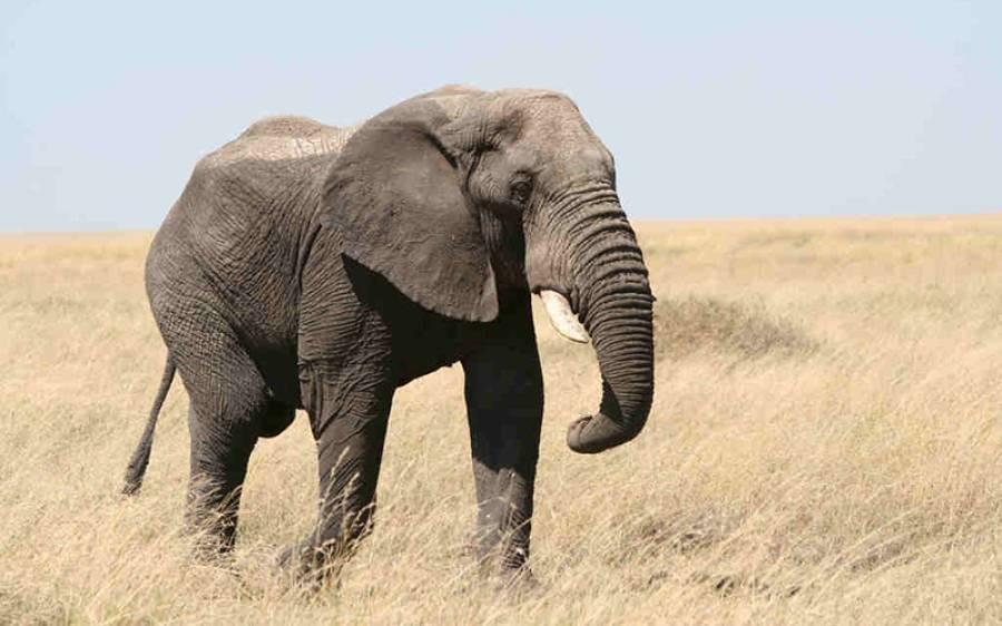 سینکڑوں ہاتھی کورونا وائرس کی وجہ سے بیروزگار ہوگئے
