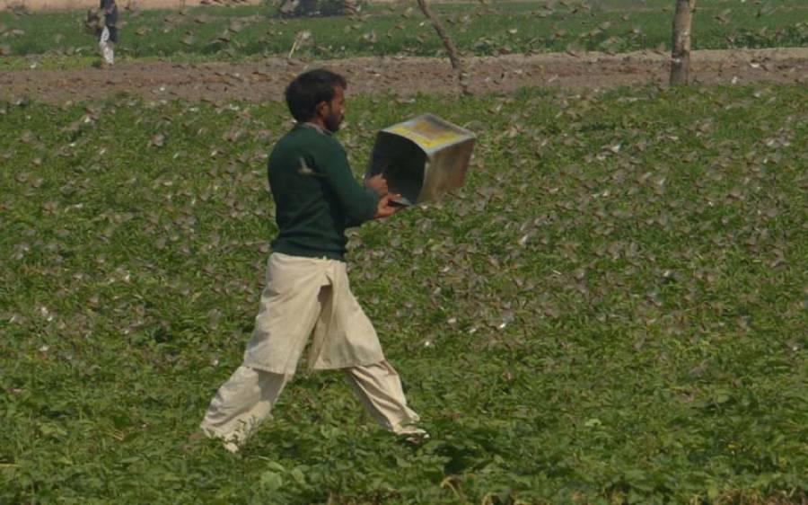 پنجاب کا وہ زرخیز علاقہ جہاں ٹڈی دل نے حملہ کردیا، انتہائی تشویشناک خبر آگئی
