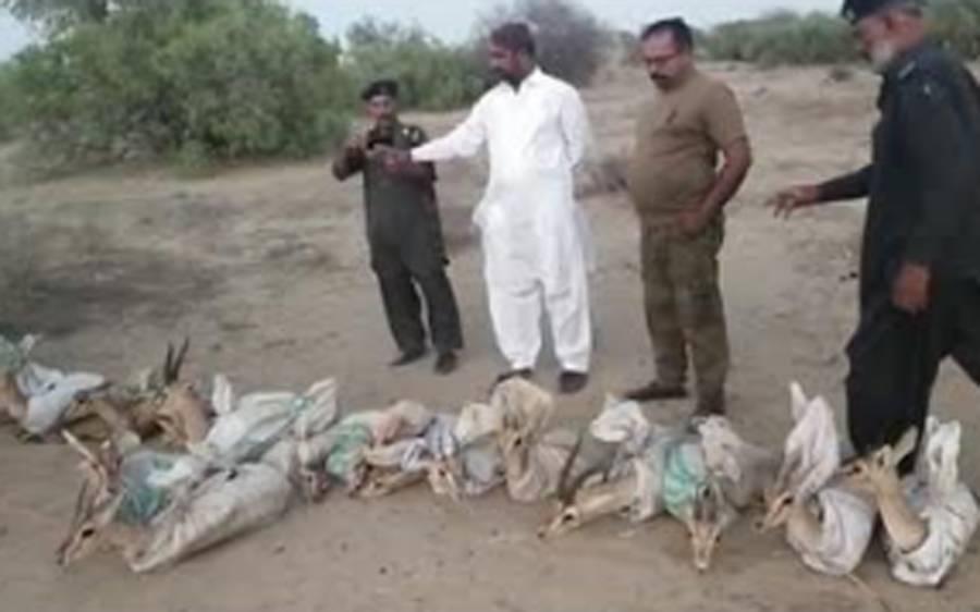 عدالت کے حکم پر پکڑے گئے نایاب نسل کے 18 ہرنوں کو تھرپارکر کے ریگستانی جنگل میں آزاد کردیا گیا