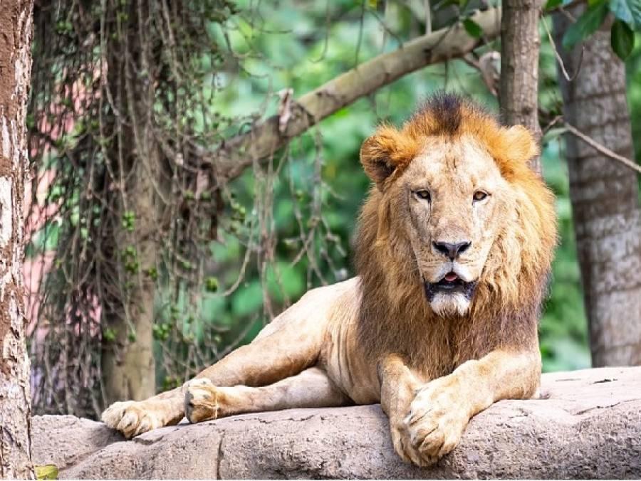 چڑیا گھر کے ہرن ذبح کرکے شیروں کو کھلانے کا فیصلہ