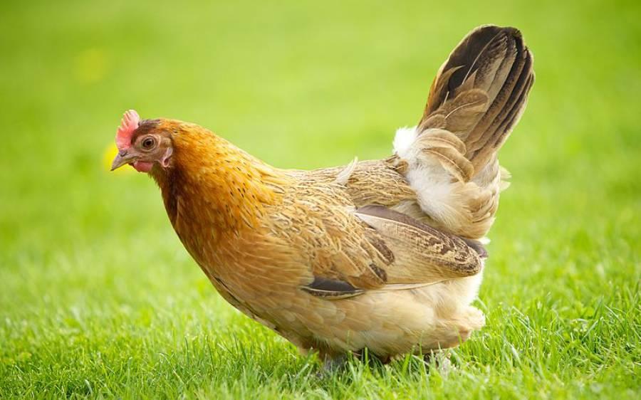 ہرے رنگ کے انڈے دینے والی مرغی، دیکھ کر سائنسدان اور ڈاکٹر بھی چکرا گئے
