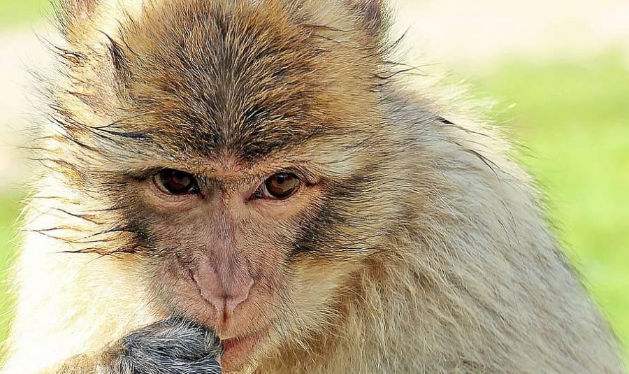 کورونا ویکسین کے تجربات ، بندر مہنگے ہوگئے