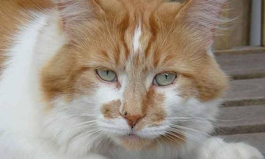 150 برس انسانی عمر جینے والی دنیا کی معمر ترین بلی چل بسی