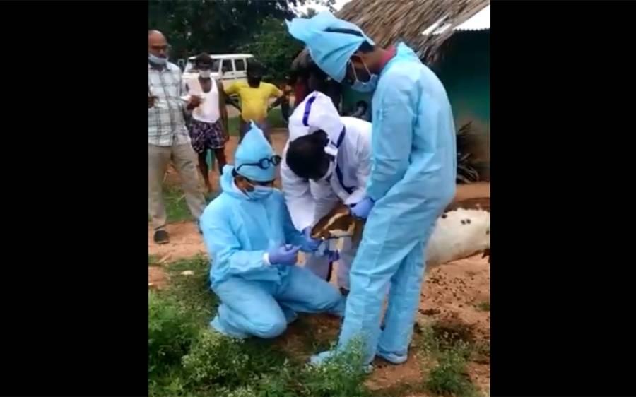 چرواہے کو کورونا ہونے پر بکریوں کو قرنطینہ کردیا گیا، حیران کن تفصیلات سامنے آگئیں