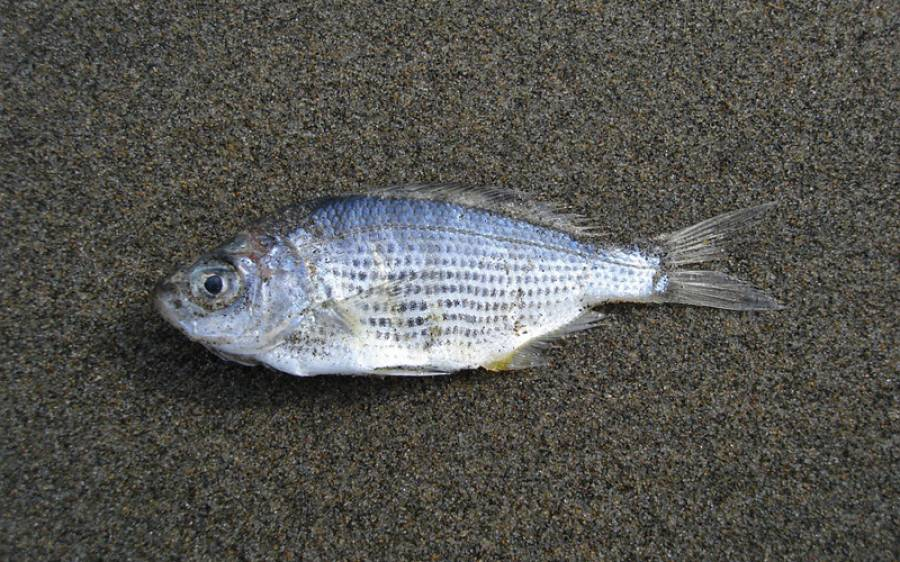 کراچی کے ساحل پر مردہ حالت میں ایک بار پھر مچھلیاں آگئیں لیکن ان کی موت کیسے ہوئی ؟ افسوسناک انکشاف