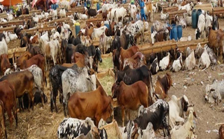 کورونا وائرس کے باوجود کراچی کی مویشی منڈی میں کتنے جانور آگئے؟
