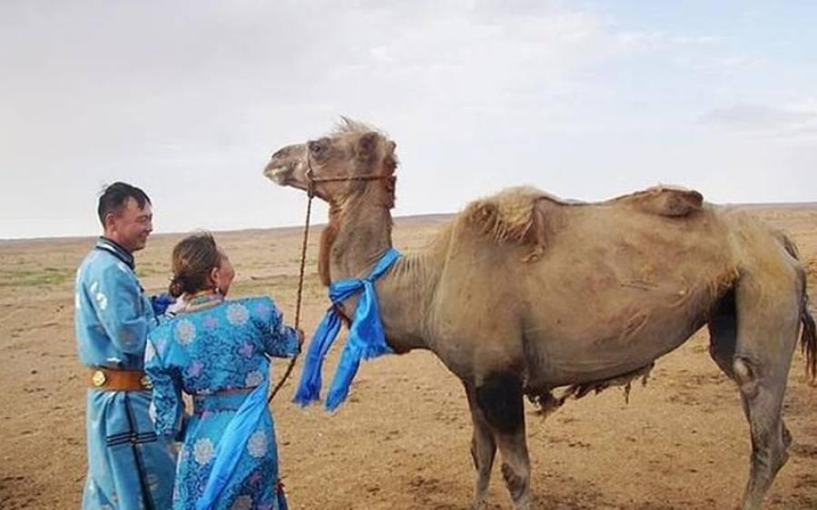ایک اونٹ نے وفاداری کی مثال قائل کردی، صحرا میں 100 کلومیٹر چل کر اپنے سابقہ مالک کے پاس پہنچ گیا
