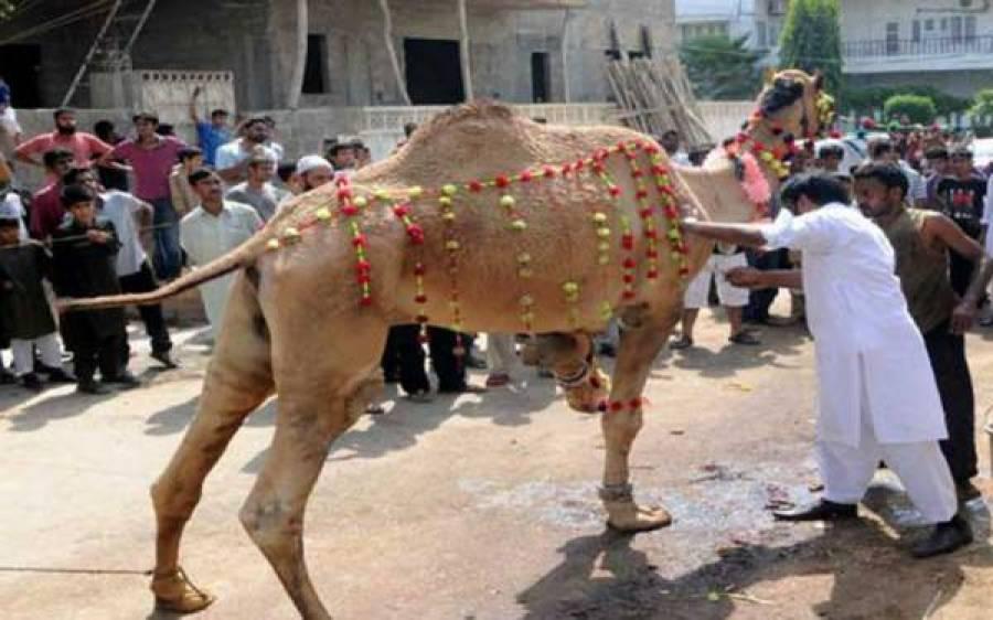 عید الاضحیٰ کا دوسرا روز،قربانی کاسلسلہ جاری،آلائشیں اٹھانے والے 'لاپتہ'