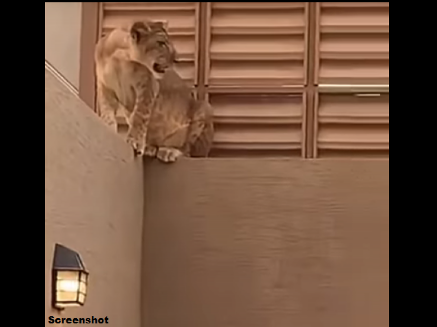 جانور کی قربانی کے وقت گھر میں شیر گھس آیا، لیکن پھر گھر والوں نے کیا کیا؟ ناقابل یقین خبر