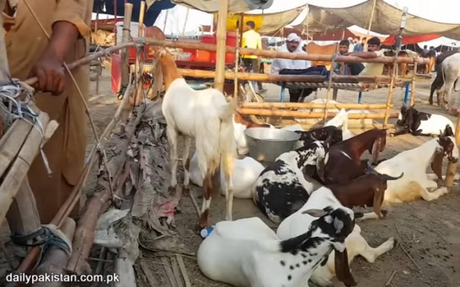 کورونا اور لاک ڈاﺅن کی وجہ سے عوام کی معاشی حالات ابتر لیکن اس دفعہ قربانی کیلئے جانور زیادہ خریدے گئے یا کم ؟ خبرآگئی