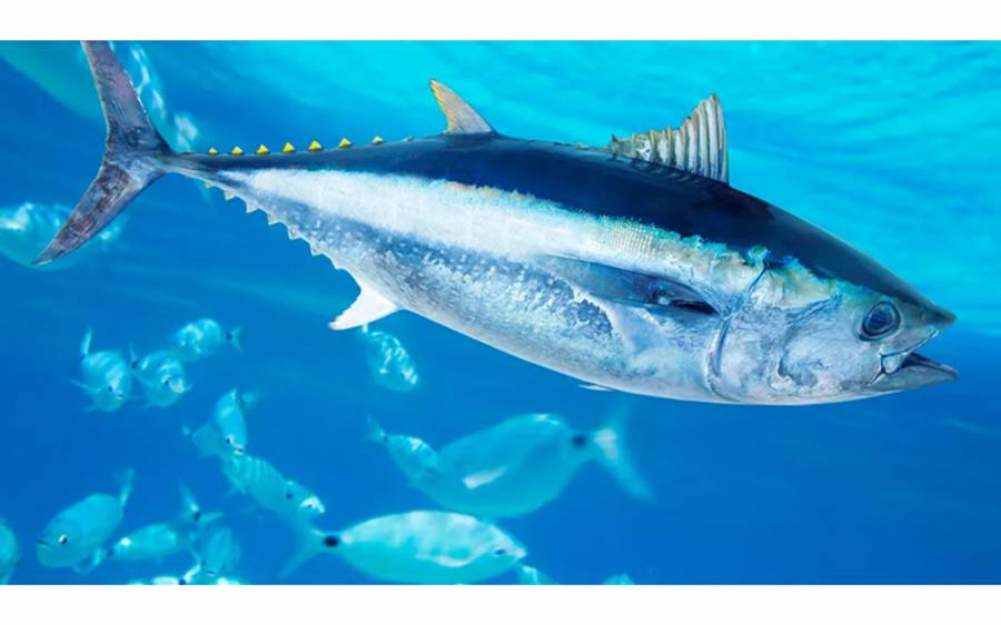 دنیا کی سب سے مہنگی 50 کروڑ روپے کی مچھلی، اس میں ایسی کیا خاص بات ہے؟ آپ بھی جانئے